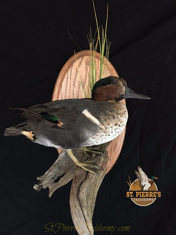 Green-winged Teal Mount - Bird Taxidermy