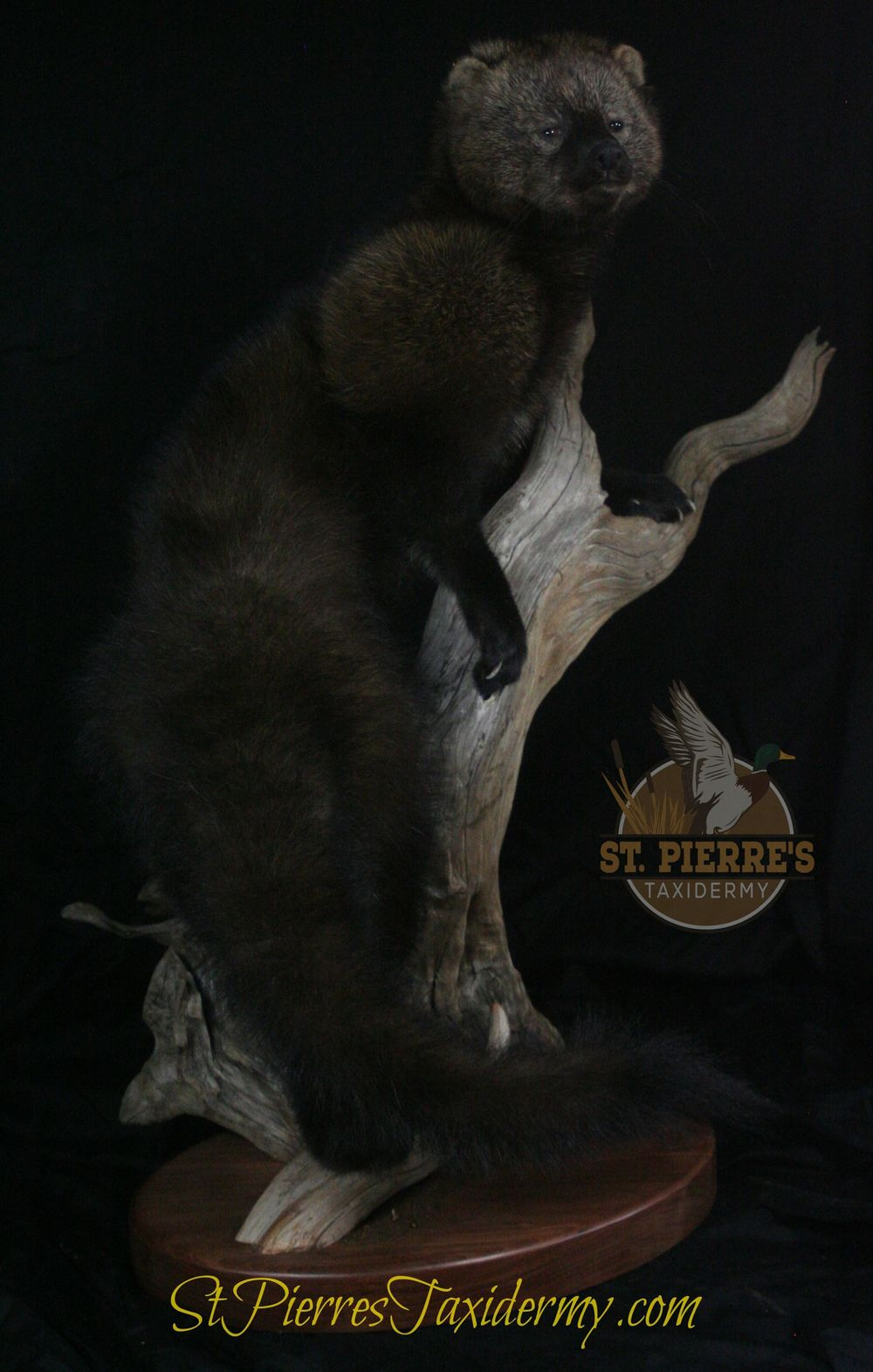 Fisher Mount - Life Size Mammals Taxidermy