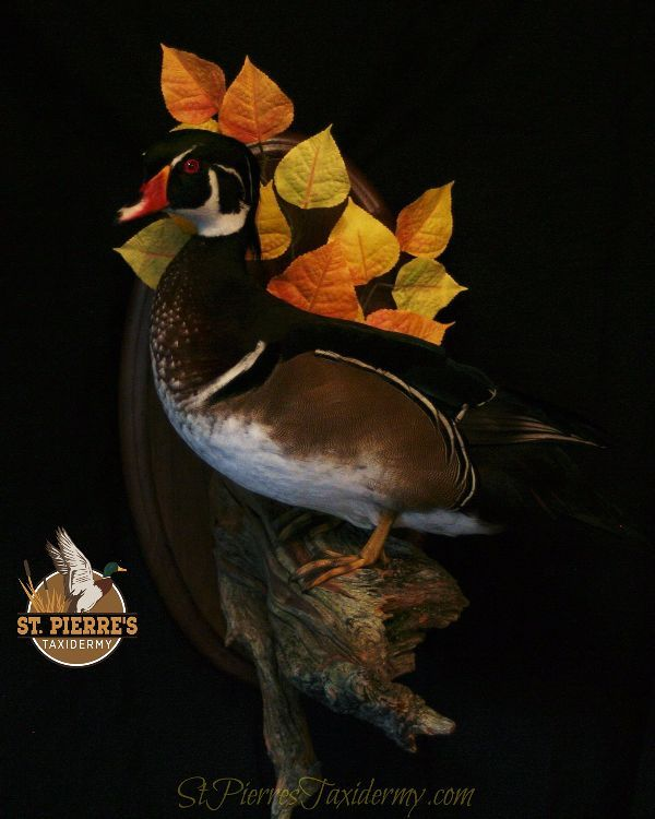 Wood Duck Mount - Bird Taxidermy