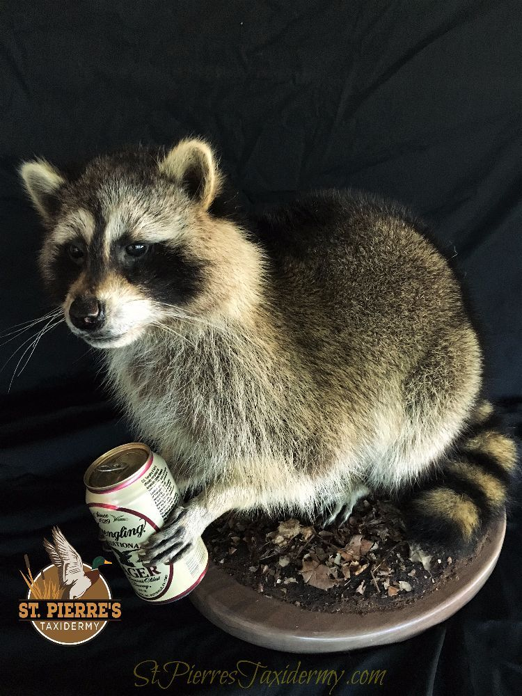 Custom Raccoon Mount Holding Beer Can - Life Size Mammals Taxidermy