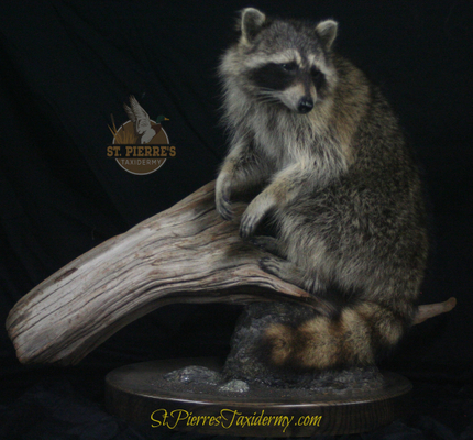 Raccoon Mount - Life Size Mammals Taxidermy