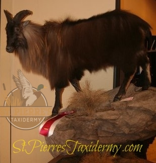 Tahr Mount - Life Size Mammals Taxidermy
