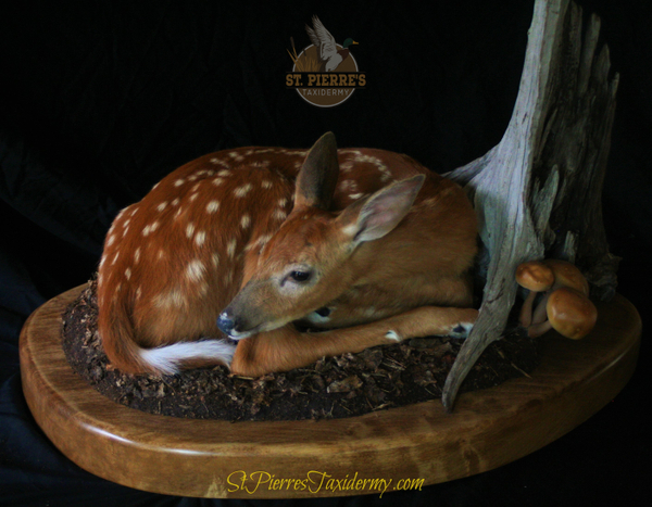 Whitetail Fawn Mount - Life Size Mammals Taxidermy