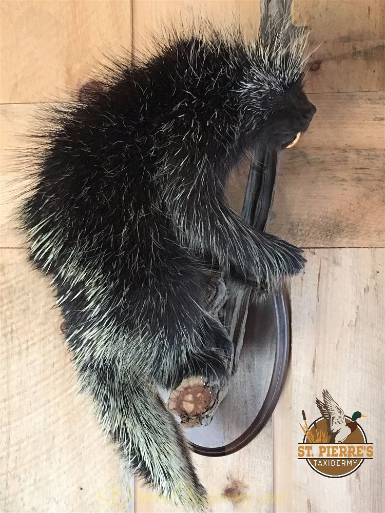 Porcupine Mount - Life Size Mammals Taxidermy