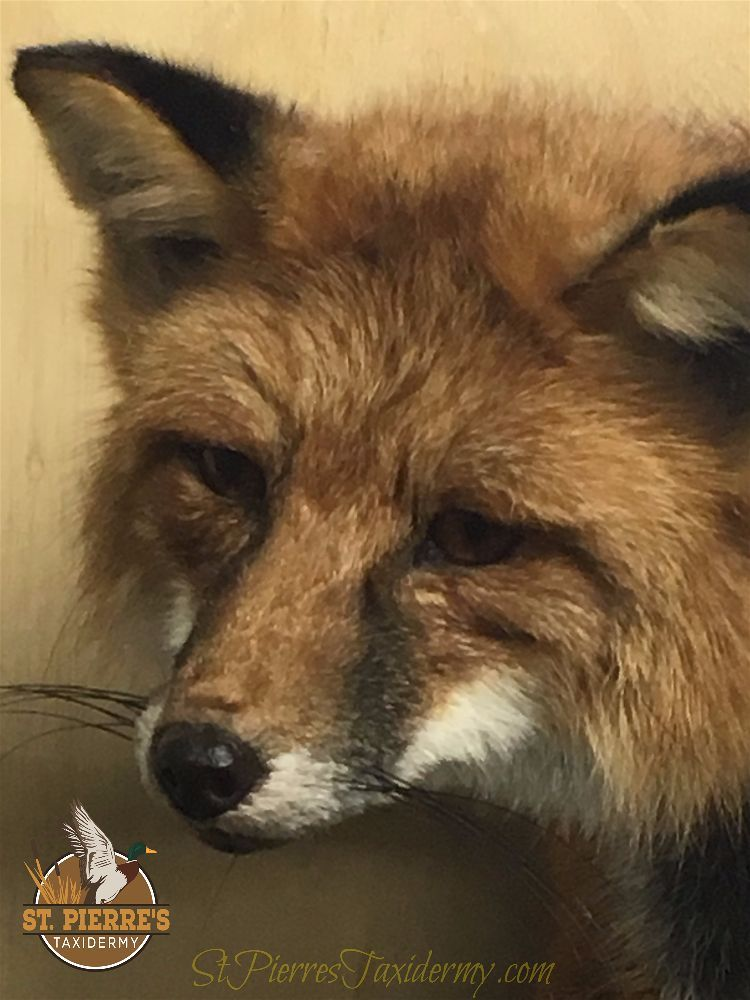 Red Fox Mount - Life Size Mammals Taxidermy