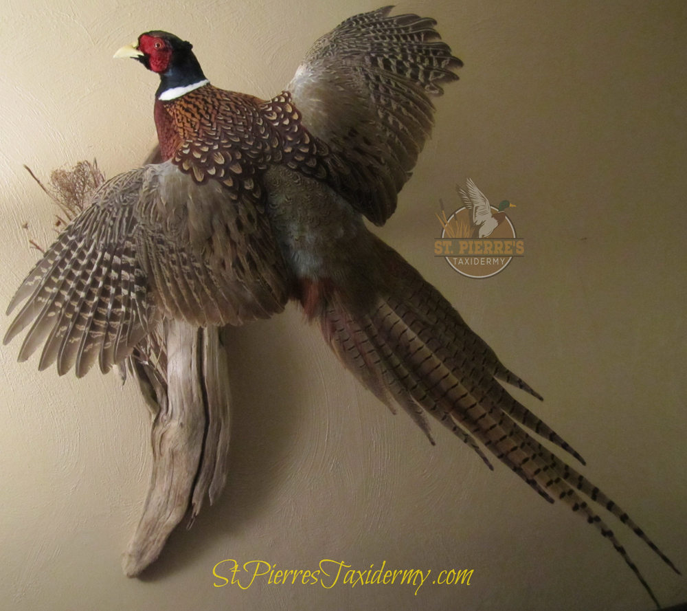 Ring-necked Pheasant Mount in Flying Pose - Bird Taxidermy