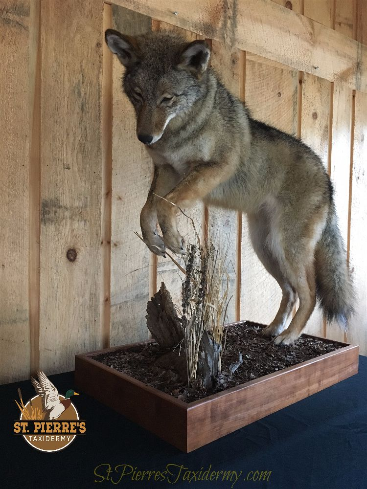 Custom Coyote Mount - Life Size Mammals Taxidermy