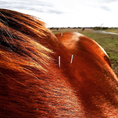 Horse Acupuncture