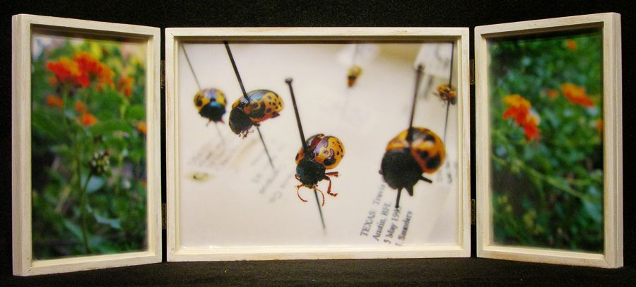 Biota Box 40: Leaf Beetles and Lantana