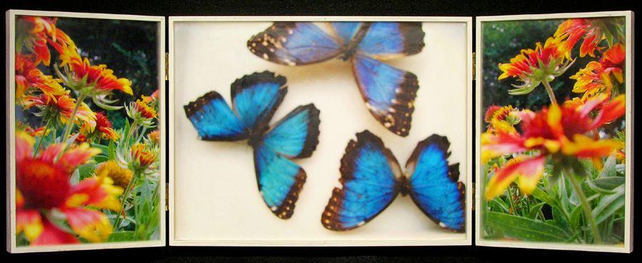 Biota Cabinet 85A: Blue Morphos and Indian Blanket