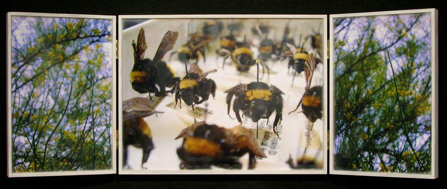 Biota Cabinet 67: Bumble Bees and Retama