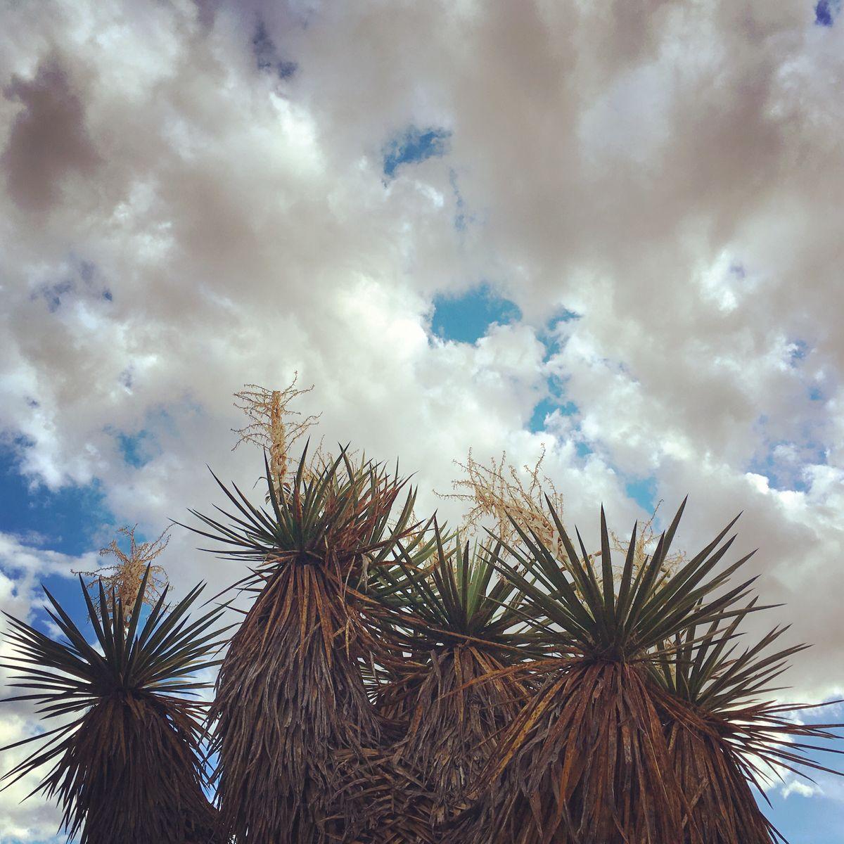 Giant Yucca Marfa