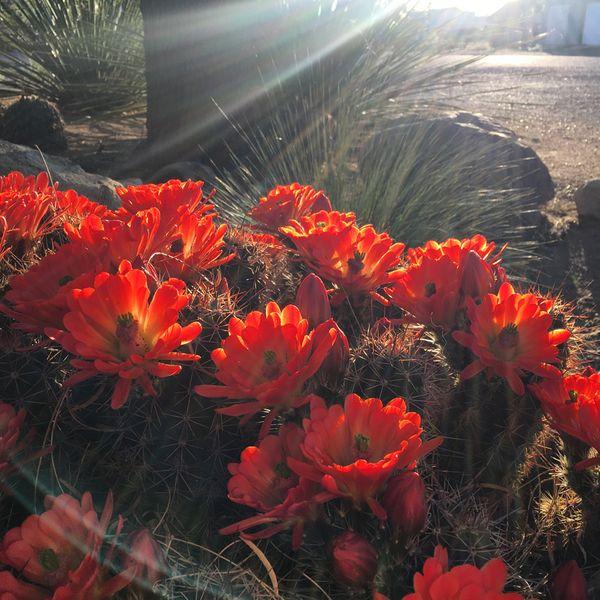 Red cactus blooms