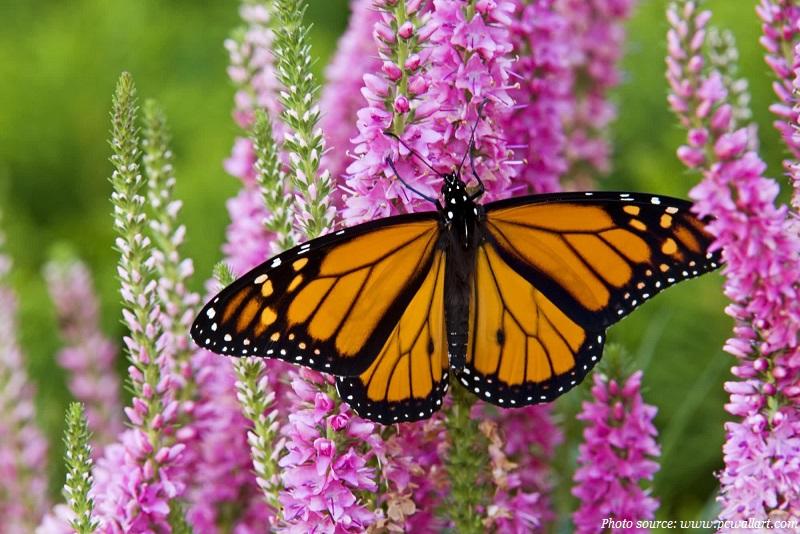monarch-butterfly-on-a-flower.jpg