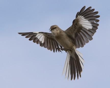 mockingbird.jpeg