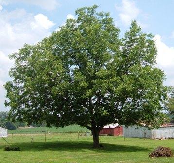 pecan-tree-in-yard-summer.jpg