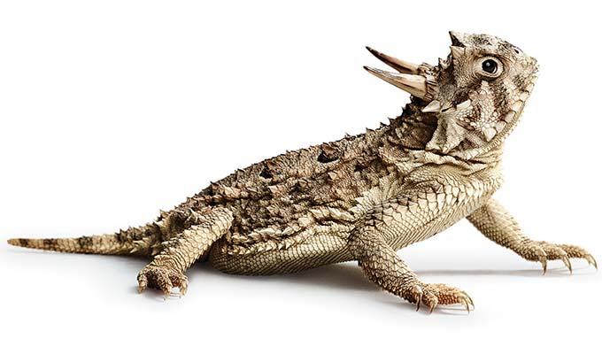 Texas-horned-lizard-680.jpg