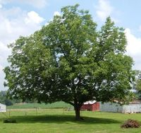 pecan-tree-in-yard-summer.jpg