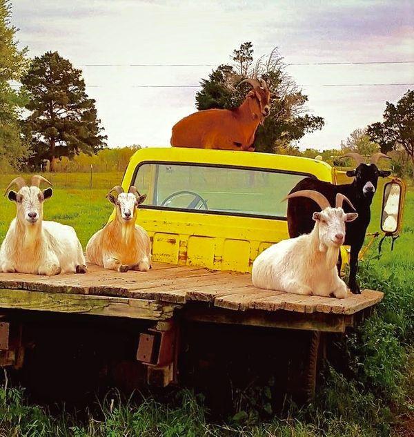 1stpg_goats (1).jpg