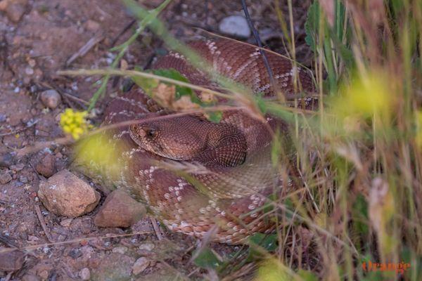Red-diamond rattlesnake