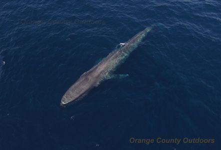 Blue Whale