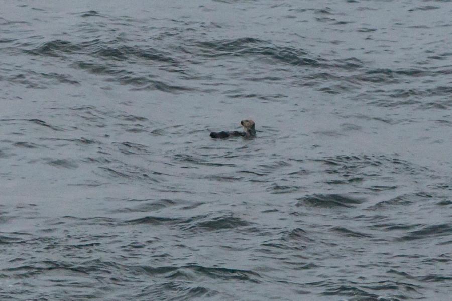 Sea Otter 4/7/16
