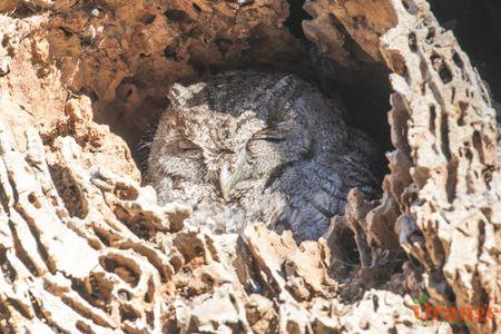 owl 2 oc.jpg