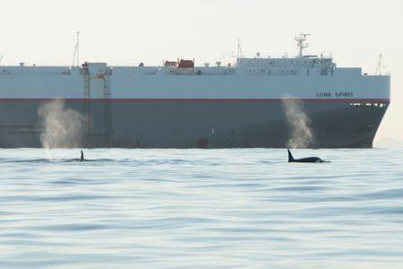 Offshore Orcas