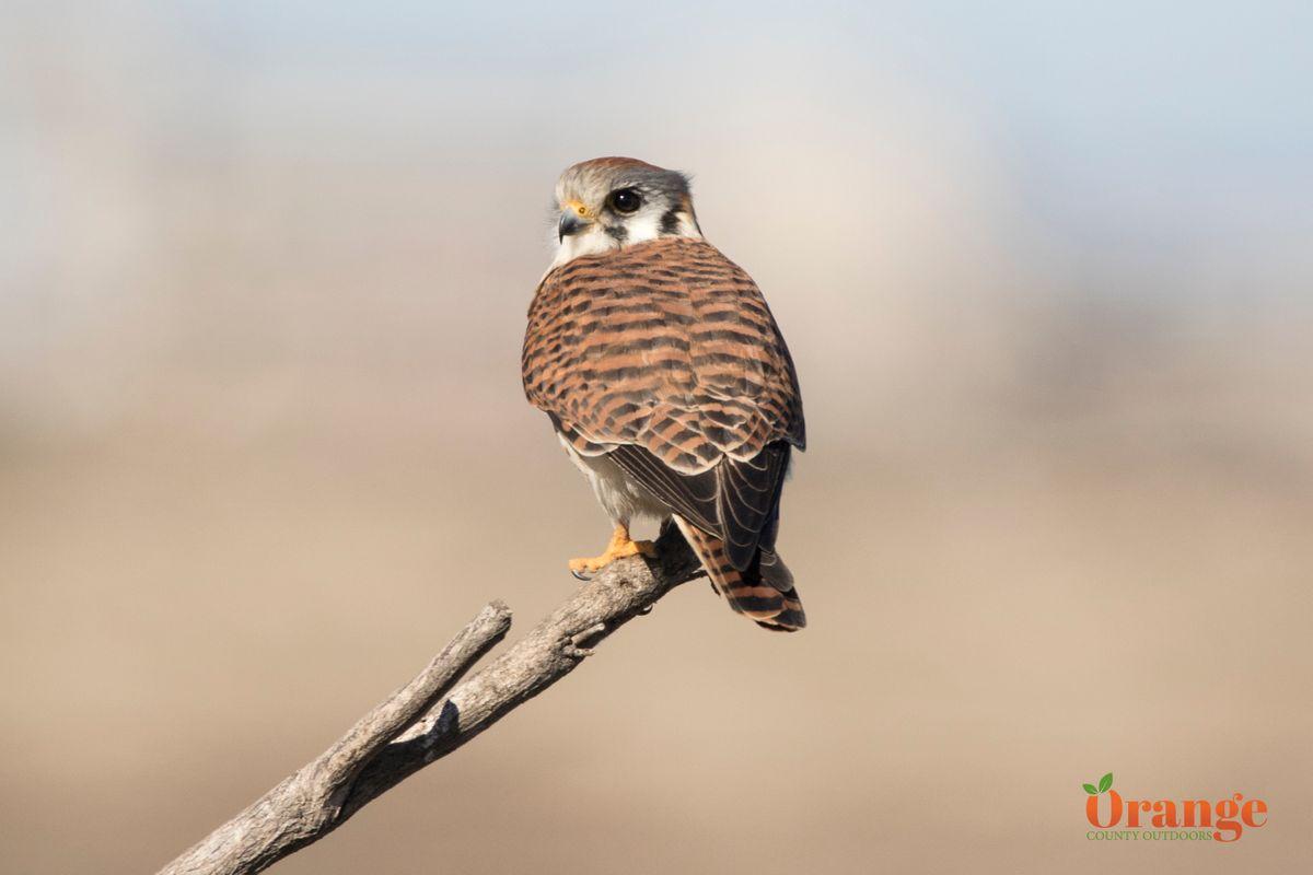 Birds Of Prey In Orange County Orange County Outdoors