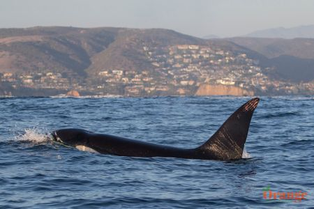 ETP killer whale