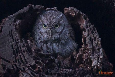 owl 3 oc.jpg