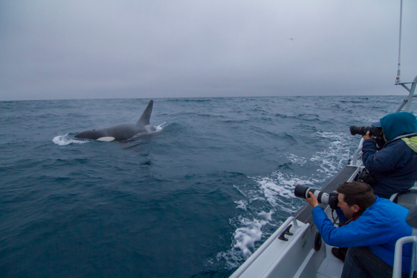 Killer Whales from the CA-051 pod