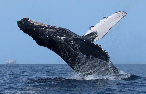 Entangled humpback whale