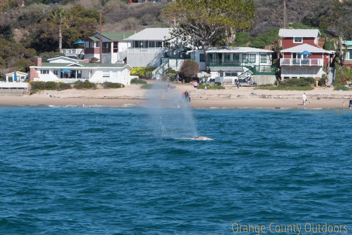 Gray whales at Crystal Cove