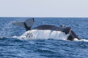Cow/calf humpback whale