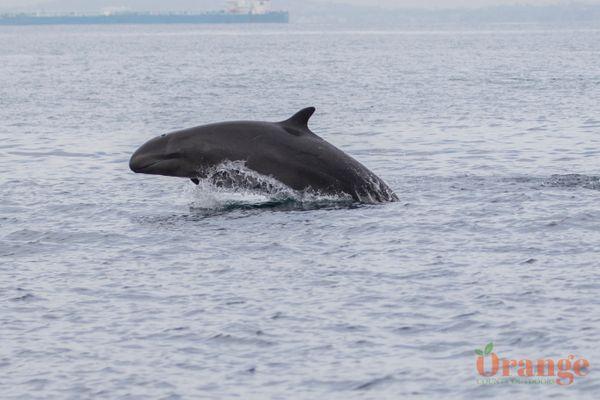 False Killer Whale