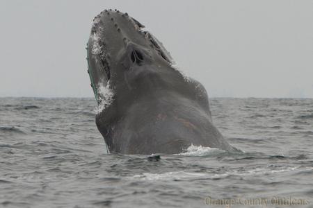 Scarlet entangled humpback whale