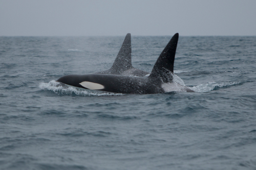 Killer Whales from the CA-51 pod