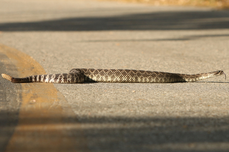 Southern Pacific Rattlesnake