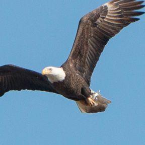 bald eagle thumb.jpg