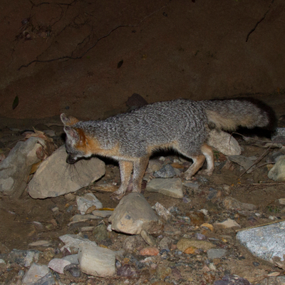 Fox Thumbnail