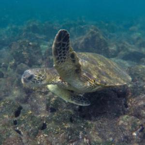 Green Sea Turtle