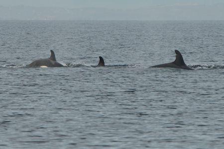 ETP killer whales