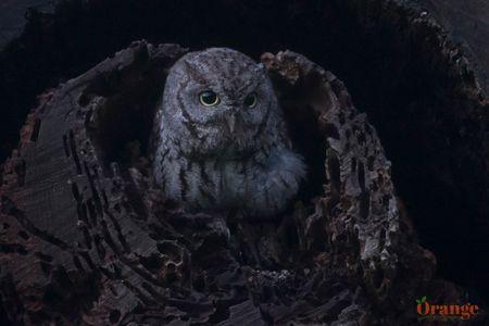 owl 5 oc.jpg