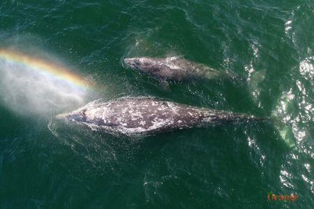 Gray whales rainbow