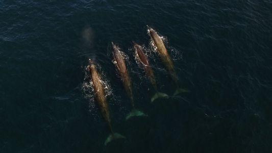 Baird's Beaked Whales