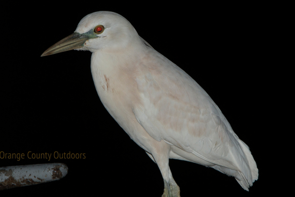 Leucistic Night Heron