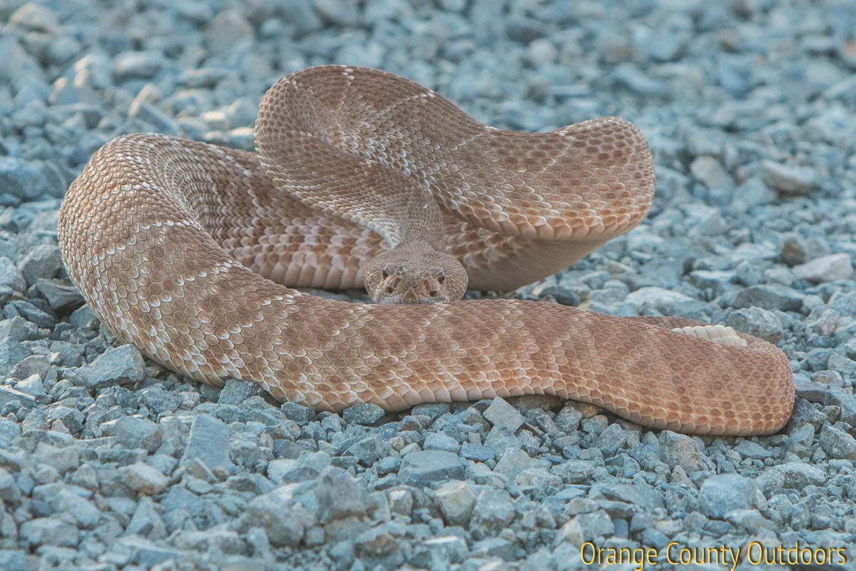Red-diamond rattlesnake