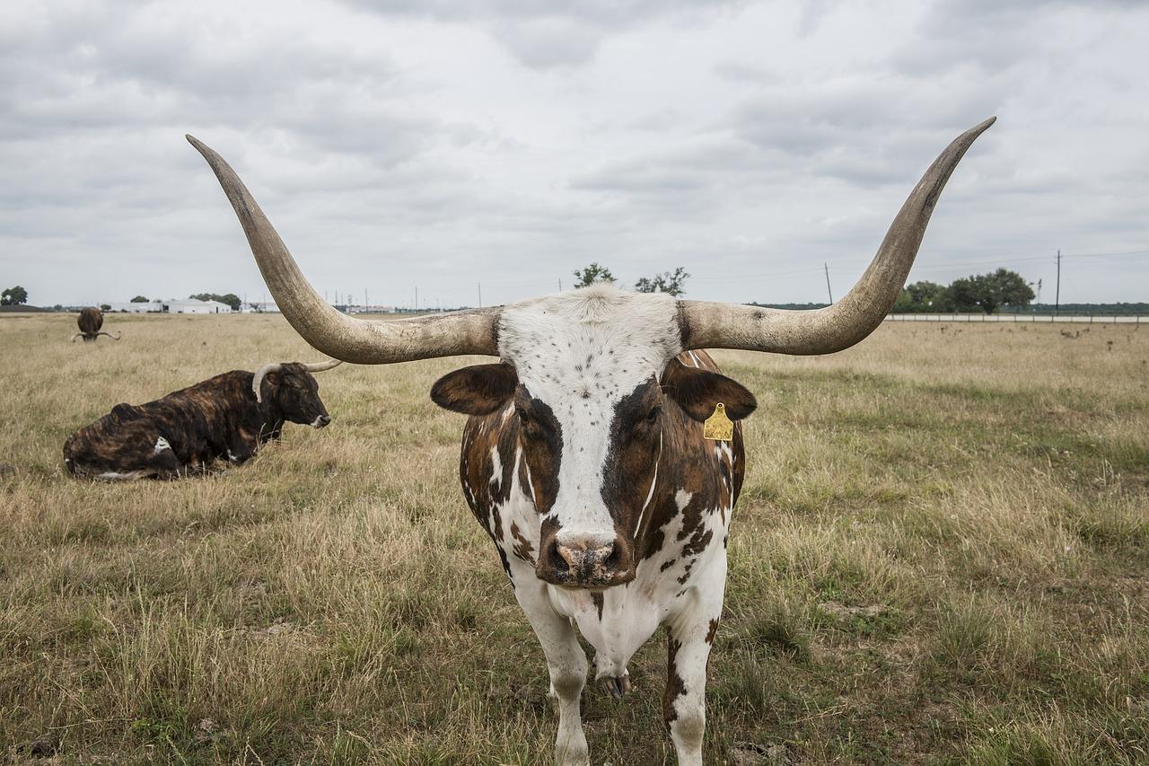 longhorn-steer-964876_1280.jpg