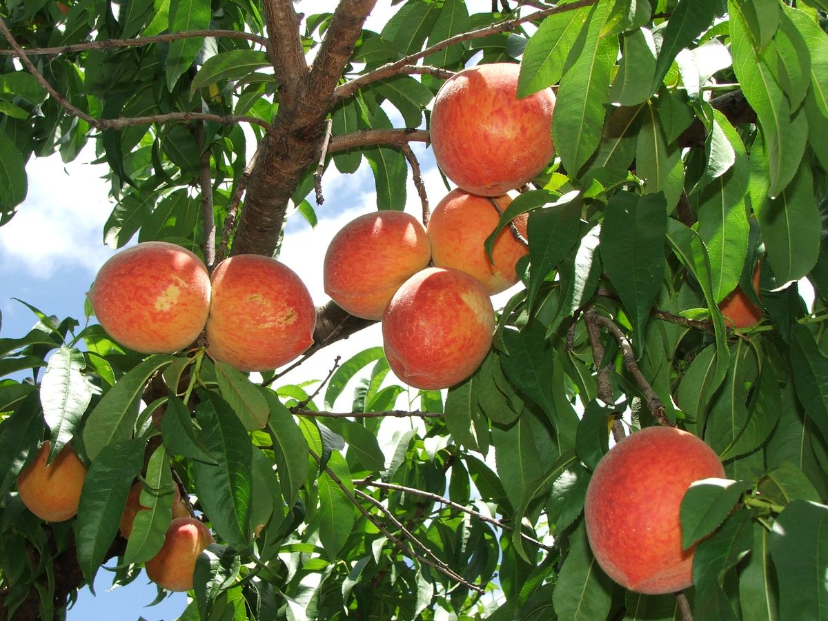 2010 Peach Harvest 014.jpg